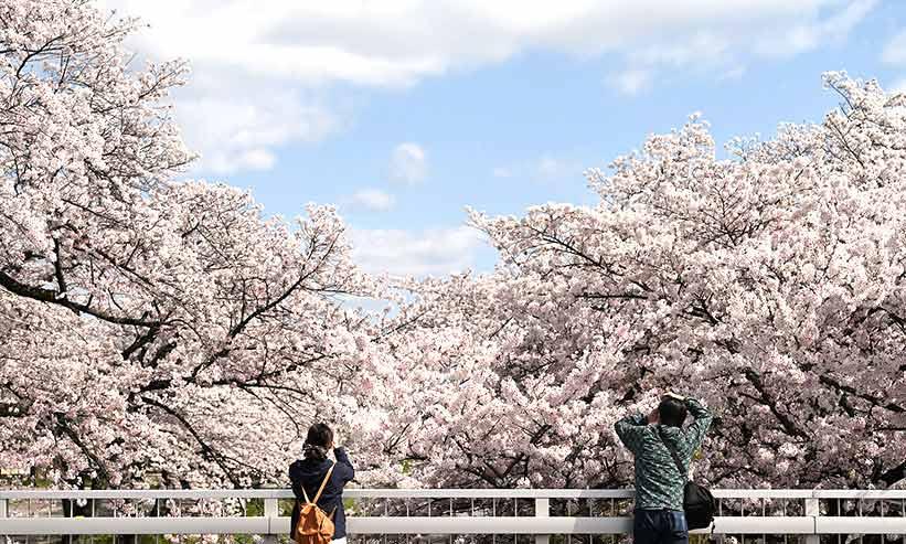 桜満開の様子